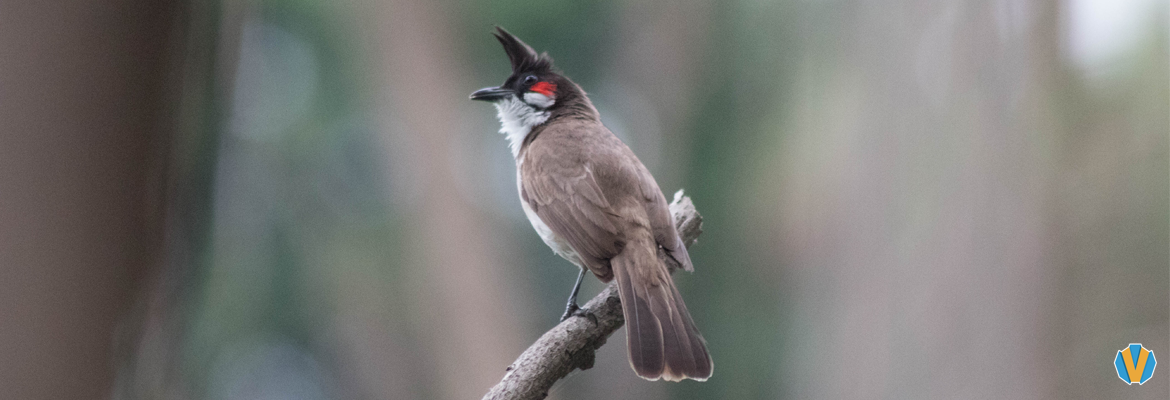 A Red-whiskered bulbul