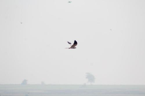 Falcon? sp.