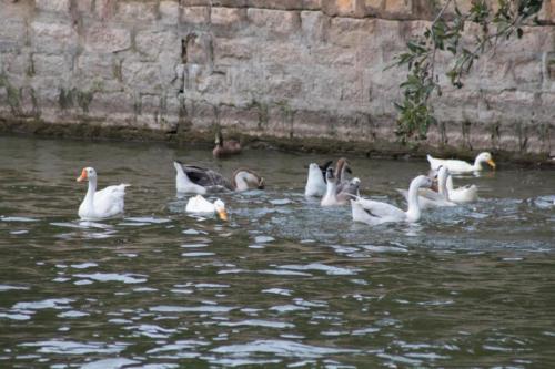 Duck sp.